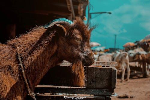 batı afrika cüce, evcil keçi, keçi, kırmızı keçi içeren Ücretsiz stok fotoğraf