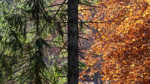 Free stock photo of autumn colors, fall colors, spruce, wood