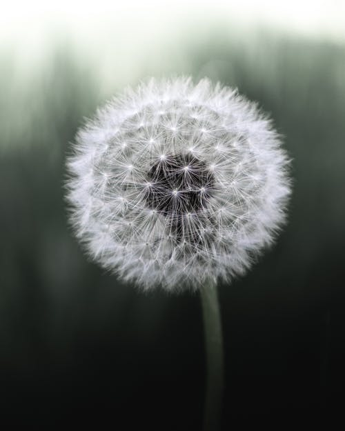 White Dandelion Flower