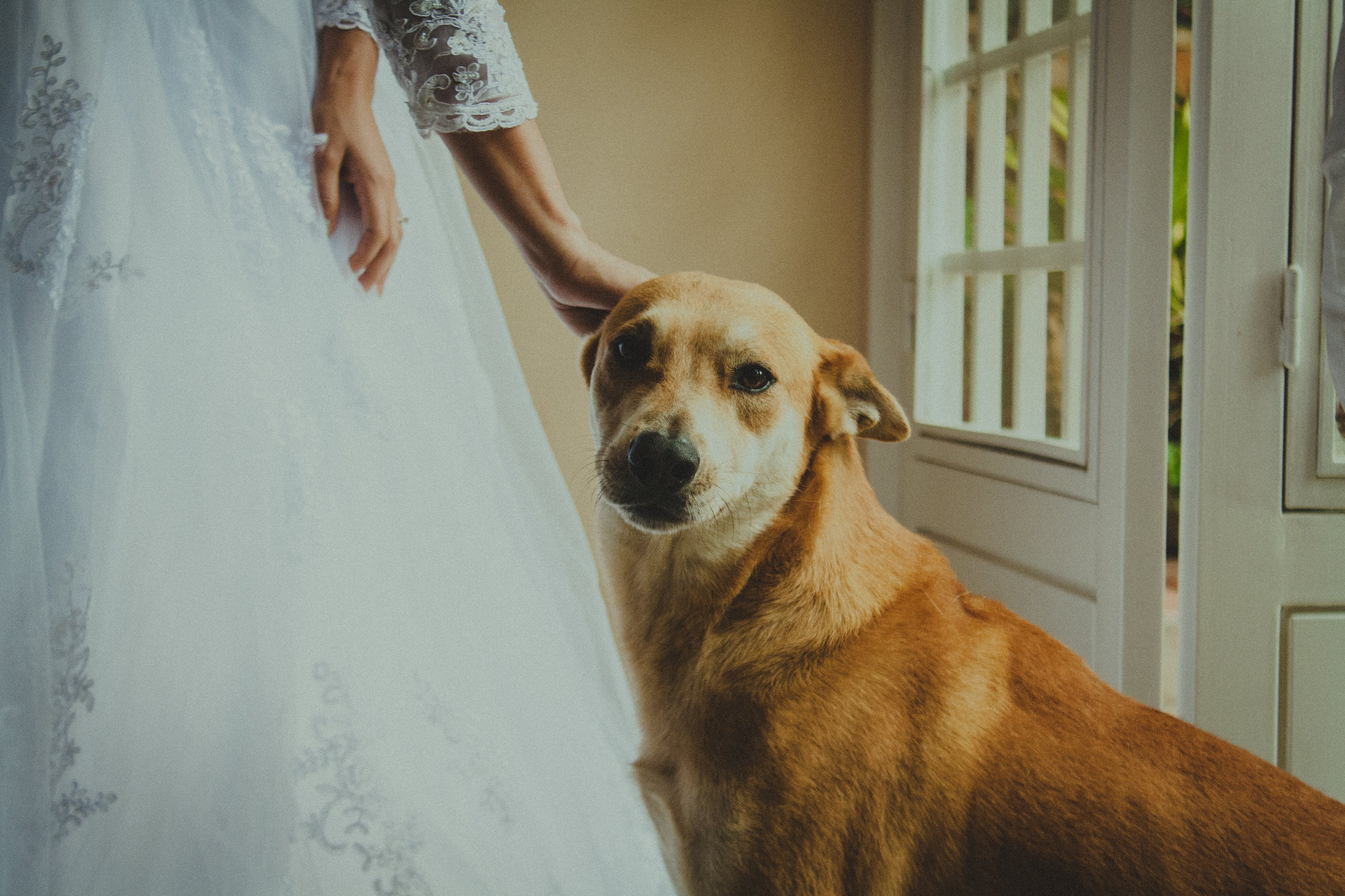 Free stock photo of bride, dog, dress, hands