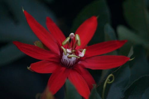 Free stock photo of flower, passiflora, passion flower, red