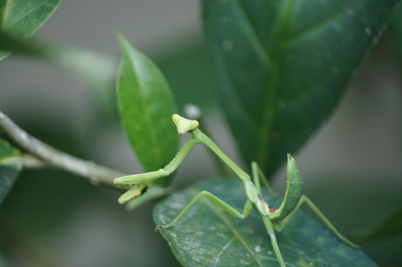 Free stock photo of green, leaf, nature, praying mantis