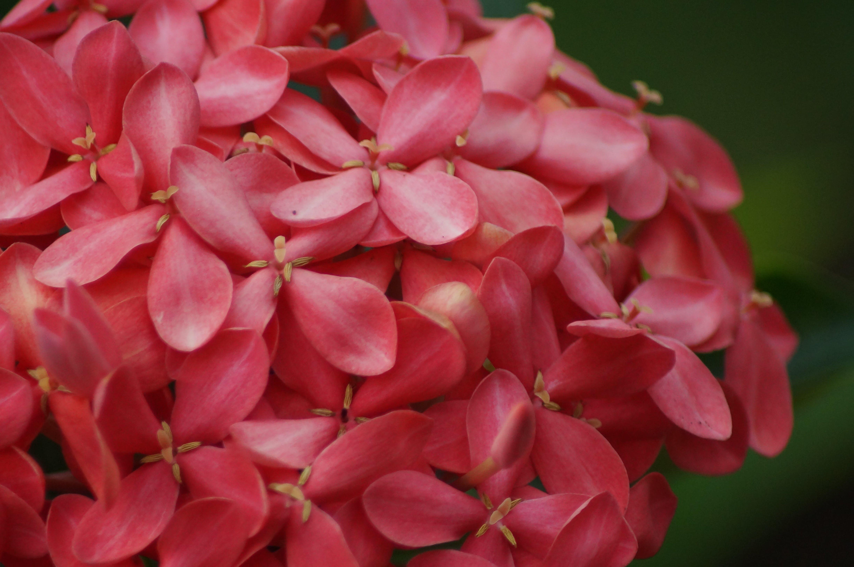 Free stock photo of flower, macro photo, pink