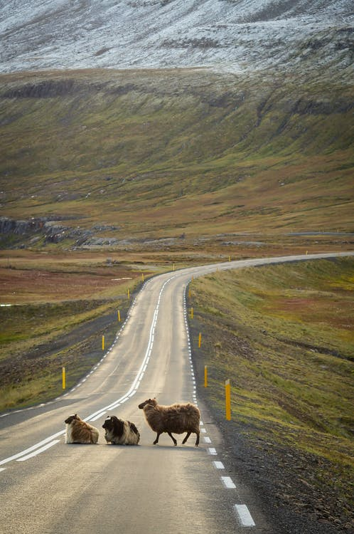 Three Animals Crossing the Country Road