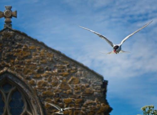 Free stock photo of bird, church, tern