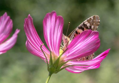 Foto profissional grátis de bokeh, borboleta, cor-de-rosa, cosmea