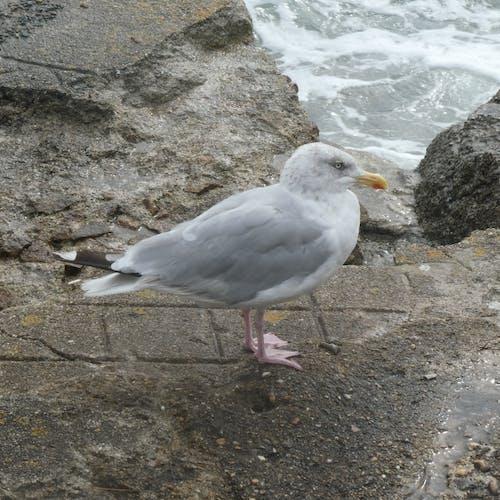 Darmowe zdjęcie z galerii z faune, goéland, mer, oiseau