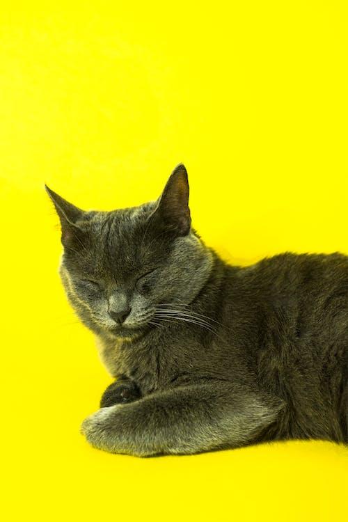 Gratis arkivbilde med dyr, dyrefotografering, gul bakgrunn, huskatt