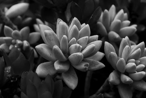 คลังภาพถ่ายฟรี ของ ขาว, ซักคิวเลนต์, ดำ, สวน