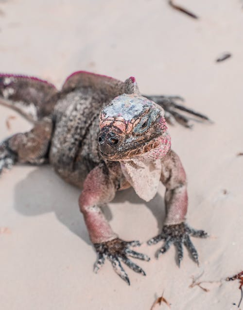 From above of iguana large species of lizard sitting on white sand at daytime