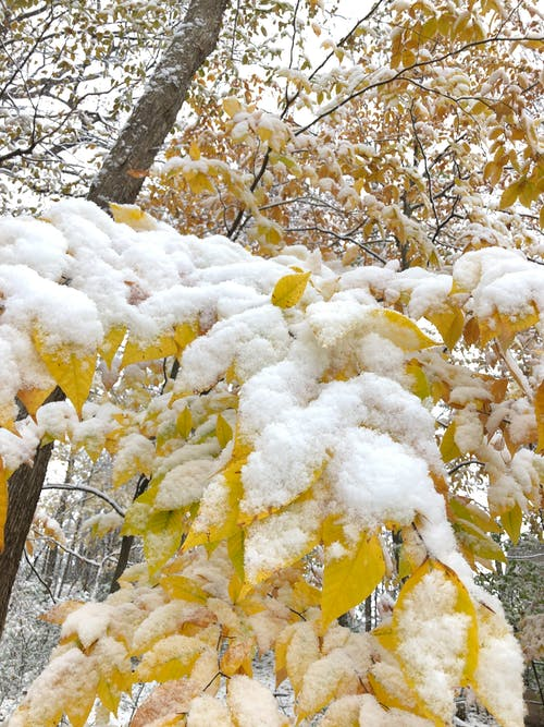 Free stock photo of autumn leaves, snow covered