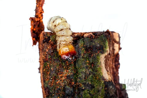 Free stock photo of bark, beetle, beetles, larva