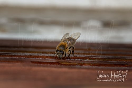 Free stock photo of bee, honey bee, honey bees, honeybee