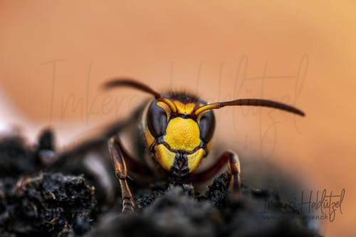 Free stock photo of hornet, insect, insect photography, insects