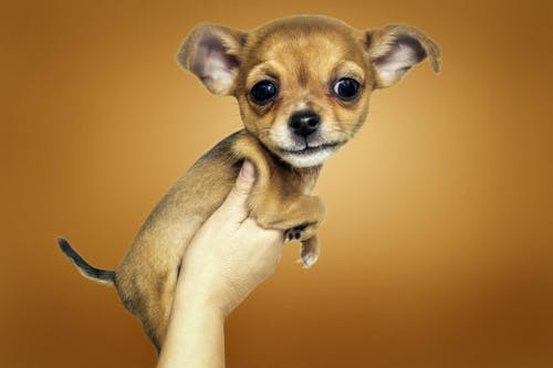 Free stock photo of chihuahua, comic style