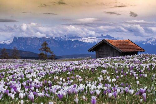 Immagine gratuita di casa abbandonata, fiori, fiori primaverili, molla