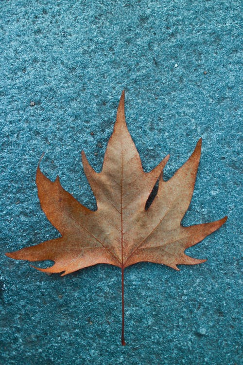 Close-up Photo Of A Dried Maple Leaf