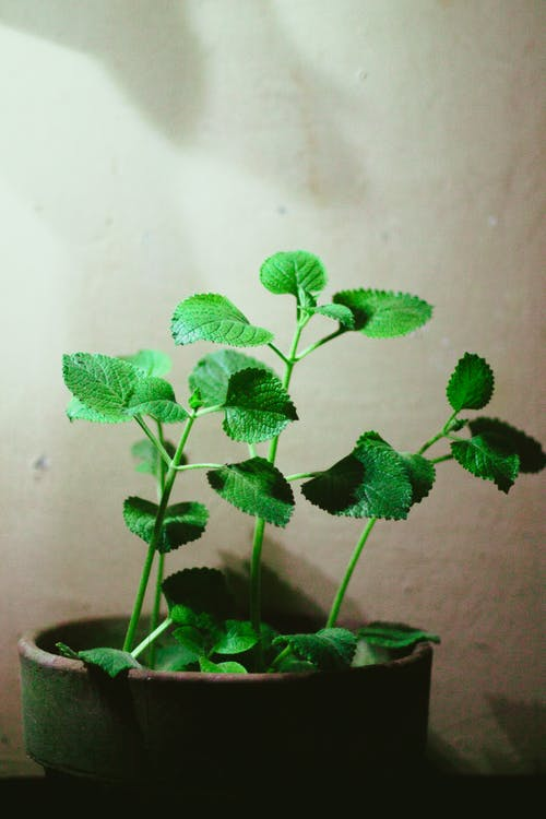 Photo Of Oregano Plant On Pot