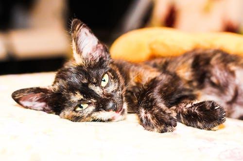 Free stock photo of cat, gato