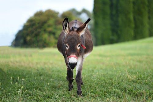Ảnh lưu trữ miễn phí về #donkey, #thú vật, cánh đồng, cỏ