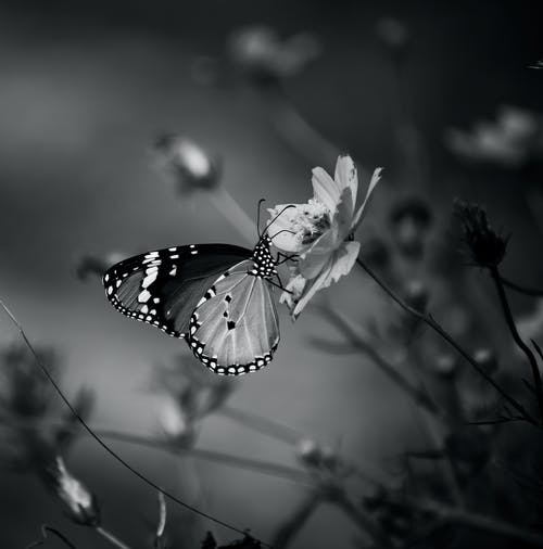 Free stock photo of butterfly on a flower, monochrome photography