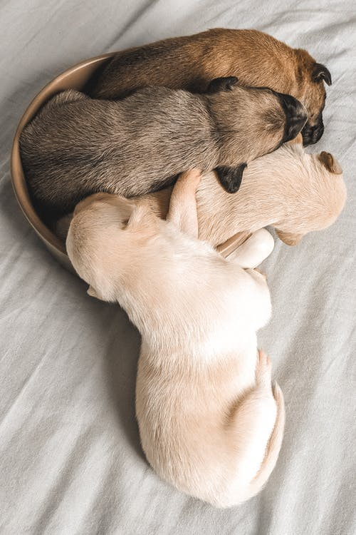Four Assorted-colored Labrador Puppies Sleeping In A Small Brown Container