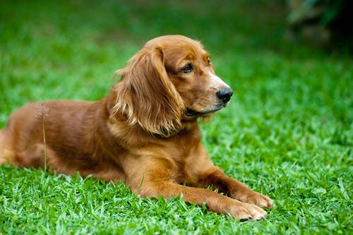 Golden Retriever Lying on Green Grass Field