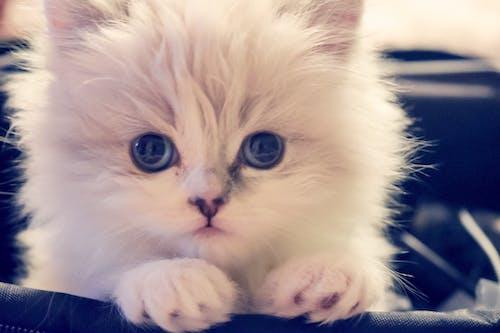 Бесплатное стоковое фото с белая кошка, большие глаза, взгляд, голубые глаза