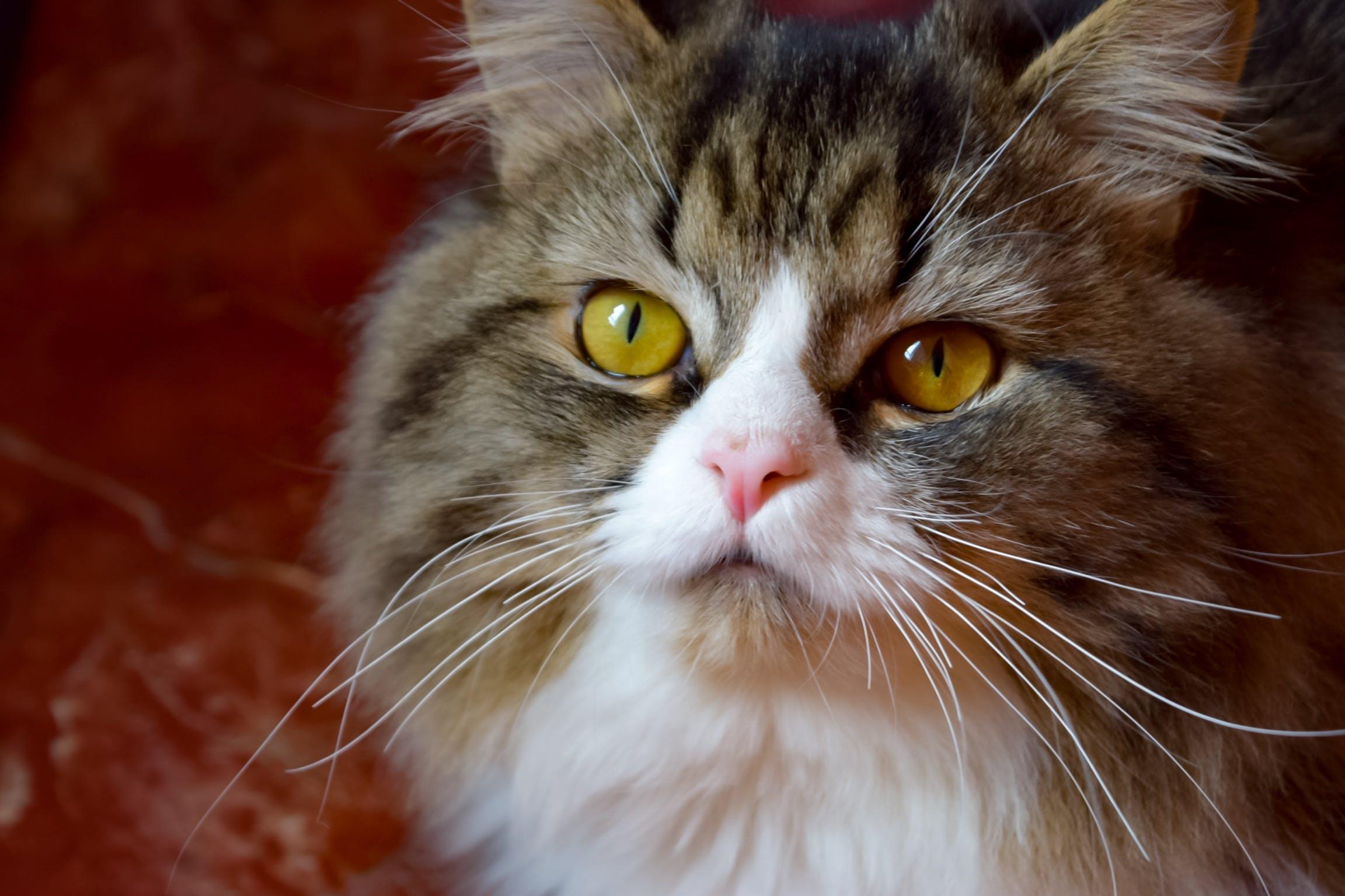 big eyes, cat face, lovely cat