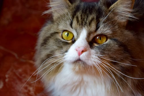 Бесплатное стоковое фото с большие глаза, взгляд, кошачья мордочка, прекрасный кот