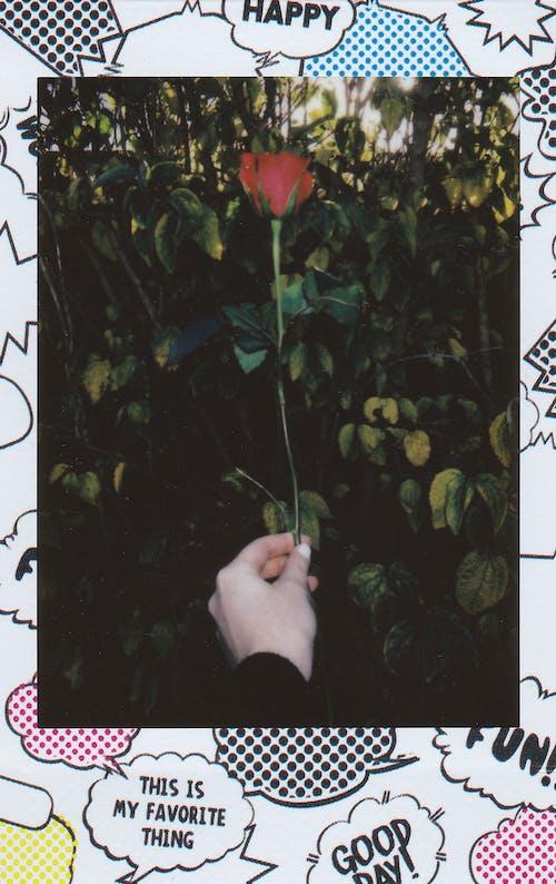 Foto stok gratis bingkai gambar, bunga, film instan, foto