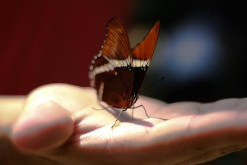 Ingyenes stockfotó a természet szépsége, kéz, pillangó, pillangó egy virágon témában