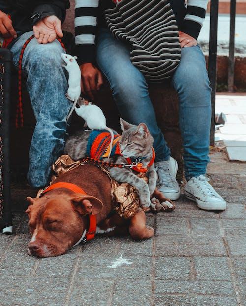 Ingyenes stockfotó barna kutya, egér, háziállatok, kutya témában
