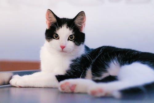 Základová fotografie zdarma na téma bicolor cat, kočičí obličej, kočičí oči, kočka domácí