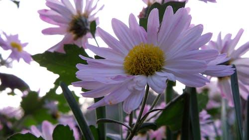 Бесплатное стоковое фото с хризантема
