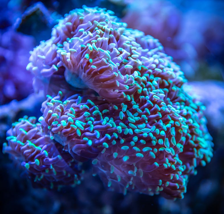 Blue and Pink Coral