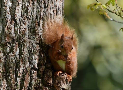 Free stock photo of mammal, red squirrel, squirrel