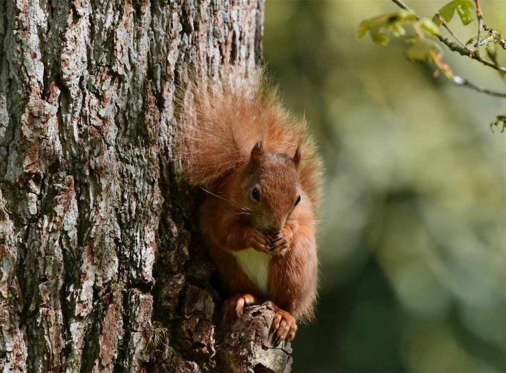 다람쥐, 붉은 다람쥐, 야생동물