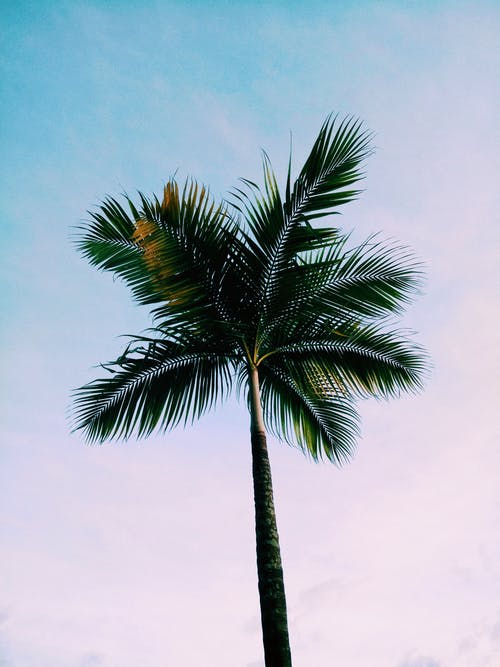 Low-angle Photo of Green Coconut Palm Tree