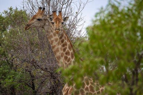 Бесплатное стоковое фото с kameelperd, Африка, дикая природа, животные