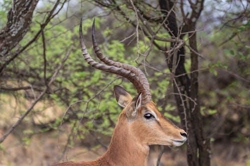 Бесплатное стоковое фото с rooibok, Африка, дикая природа, животные
