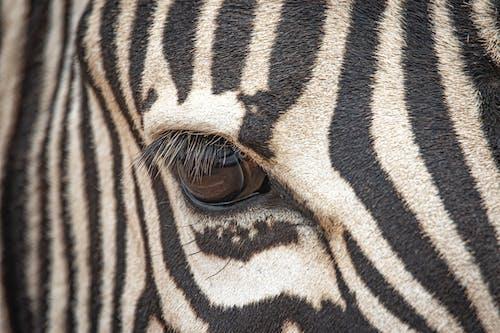 Бесплатное стоковое фото с Африка, глаз, дикая природа, животные