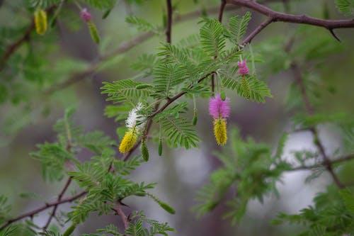 Бесплатное стоковое фото с blomme, бум, дерево, колючее дерево