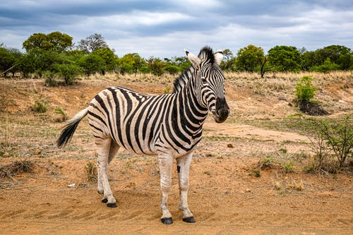 Бесплатное стоковое фото с дикая природа, дикие животные, животные, зебра