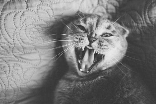 Grayscale Photo of a Yawning Cat Lying Down