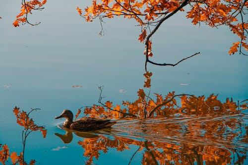 göl, ördek içeren Ücretsiz stok fotoğraf
