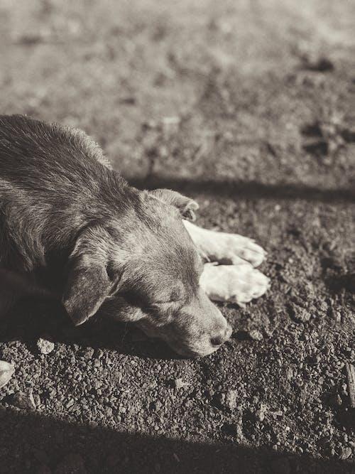 哺乳動物, 寵物, 小狗, 灰階 的 免费素材照片