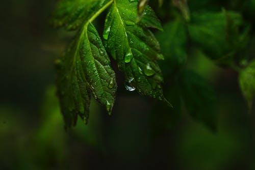 水滴, 秋天, 秋葉, 雨 的 免费素材照片