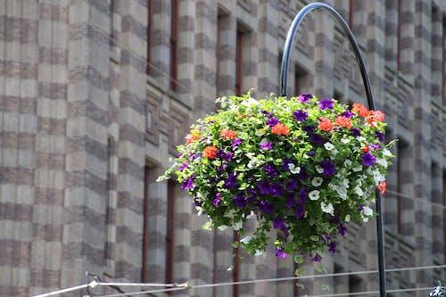 Kostnadsfri bild av hängande korg, vackra blommor