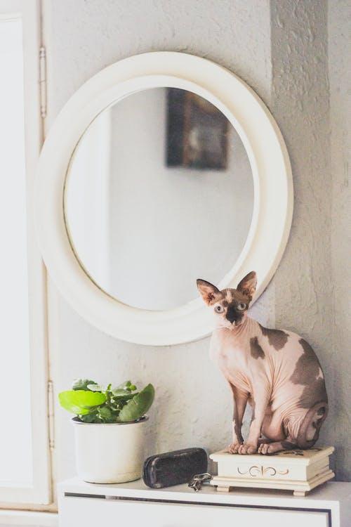 Sphynx Cat Beside Mirror